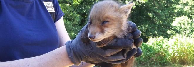 Bracconieri senza cuore entrano nella clinica veterinaria e rubano due esemplari di volpe rossa
