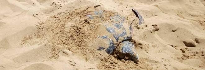 Schiacciata dal trattore mentre depone le uova: così è morta Bianca, la tartaruga star di Siracusa