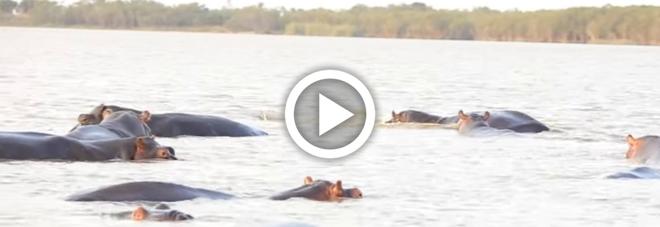 Lo squalo attacca un branco di ippopotami, l'incredibile video girato in Sudafrica