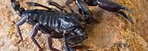 Scorpione punge una neonata sette volte: era finito nel pannolino