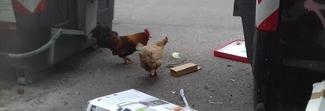 Strade invase dai rifiuti, tra i cassonetti ecco le galline