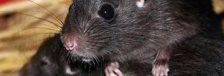 Pronto il primo vaccino anti-eroina: ok sui topi ora verrà testato sugli uomini
