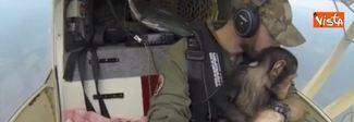 Il tenero viaggio in aereo dello scimpanzè rimasto orfano e salvato dai bracconieri Video