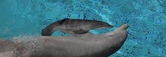 Fiocco rosa allo Zoomarine di Torvaianica: è nata una cucciola di delfino