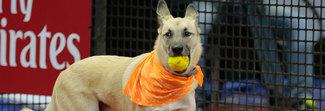 A San Paolo arrivano i cani raccattapalle: è un'iniziativa contro il randagismo