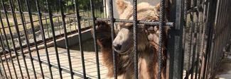 Orsi in catene usati per foto nei ristoranti, tre animali salvati al Bioparco