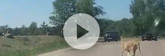 Scendono dall'auto con la bimba in braccio durante il safari: i ghepardi li attaccano Video