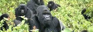 Gorilla in pericolo, Sos del Vaticano: in Congo è a rischio il parco naturale Virunga, patrimonio dell'Unesco