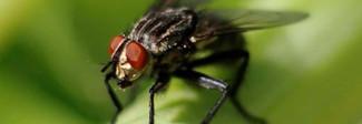 """Mosche usate come """"droni-naturali"""" contro il pericolo delle epidemie"""