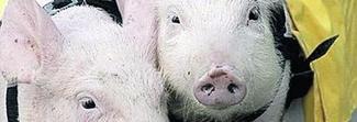 Trova maiali nella casa che aveva dato in affitto e mette i lucchetti: arrestato