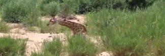 Giraffa attaccata da coccodrillo, la lotta per sopravvivere è straziante Video