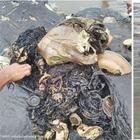 Capodoglio morto in spiaggia, nello stomaco 6 chili di plastica: 4 bottiglie, 115 bicchieri e anche due infradito FOTO
