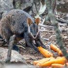 Australia, piovono carote e patate dal cielo: la mossa del governo per salvare gli animali