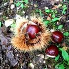 Andar per castagne nella Selva di Cori, uno dei boschi più affascinanti del Lazio