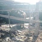 Masseria da incubo nel Napoletano: in vendita latte «contaminato»