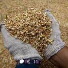 Sicurezza agroalimentare,  maxi sequestro di grano in Irpinia