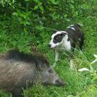 Luna e Alfa, i cani «guardiani» anti-cinghiali