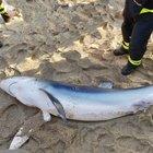 Lo squalo si arena, salvato e riportato in mare