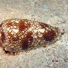 Londra, compra al figlio un acquario, ma dentro c'è una delle lumache più velenose al mondo