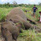 Strage di elefanti in Sri Lanka, forse avvelenati dai contadini: «Invadevano i campi»