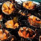 I ricci di mare fanno bene al cuore