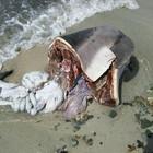 Delfino infiocinato e ucciso in Sardegna