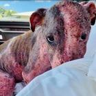Cagnolina picchiata e sepolta viva in spiaggia con la testa al sole: ora cerca una famiglia