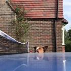 Ecco un cane che adora il ping pong