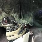 La coppia di pinguini gay che stupisce tutti e cova un uovo
