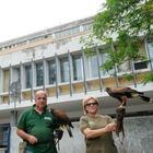 """Falchi in azione per """"dissuadere"""" i piccioni che infestano l'ospedale di Latina"""