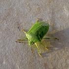 Cimici verdi, torna l'invasione in casa: ecco come eliminarle (rispettando la natura)