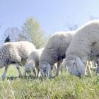 Pecore tosaerba in arrivo, Raggi firma l'accordo: «Ma non verranno in centro»