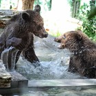 Al Bioparco una nuova casa per tre cuccioli di orso salvati dai maltrattamenti in Albania