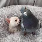 Piccione e chihuahua, due amici inseparabili