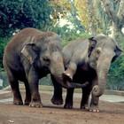 Natale al bioparco di Roma, pranzo con i lemuri e l'elefante Sofia