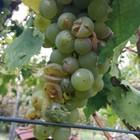 La pazza estate rovina il vino «Incerte qualità e quantità»