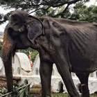 Vecchia e malata, l'elefantessa Tikiri viene ancora usata nei festival in Sri Lanka: la denuncia degli animalisti
