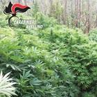 Sequestrate due piantagioni di marijuana nei boschi di Montoro