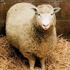 Né artrite né invecchiamento precoce: nuovi esami ribaltano la verità sulla pecora Dolly