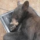 Tornano a casa e trovano un orso che riposa nell'armadio della loro camera