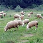 «Pecore per tosare l'erba dei parchi» L'ultima idea della giunta Raggi