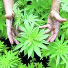 Cannabis club: il ddl 5Stelle fa infuriare il Carroccio