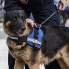 Spacciava droga ai domiciliari, smascherato dai cani poliziotto
