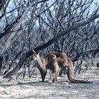 Incendi in Australia, devastazione e animali carbonizzati