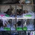 Cagnolini chiusi dentro il bagagliaio senza aria nè acqua: smantellato traffico di cuccioli