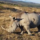 Otto rinoceronti a rischio estinzione muoiono durante un trasferimento: disastro in Kenya