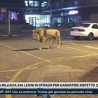 Coronavirus, leoni fuori per costringere i russi a restare a casa: la bufala e la foto ritoccata