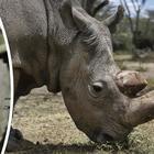 Morto l'ultimo esemplare maschio di rinoceronte bianco: la specie ora rischia l'estinzione