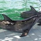 «Delfini con i denti strappati per non ferire i turisti»: choc nei resort delle meraviglie
