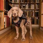 """Un cane """"assunto"""" dal Museum of Fine Arts di Boston: scoverà tarme e parassiti"""